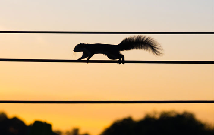Squirrel-on-powerline